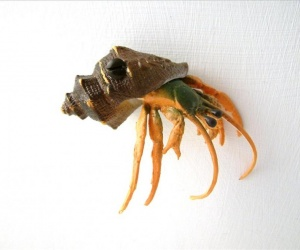 Brown Hermit Crab Drawer Knob